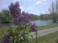 Lilacs and the pond at my house.
